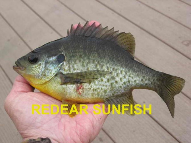 Redear Sunfish fish Pinterest