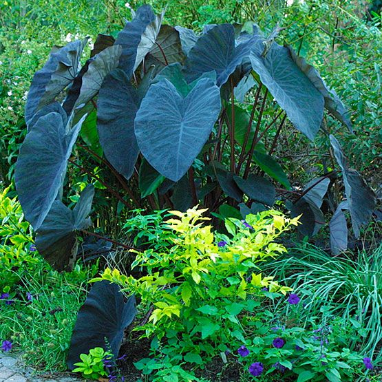black magic elephant ears care and info garden pinterest. Black Bedroom Furniture Sets. Home Design Ideas