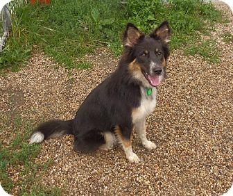 Dog Ready For Adoption Shetland Sheepdog Sheltie Dachshund Mixed Image ...