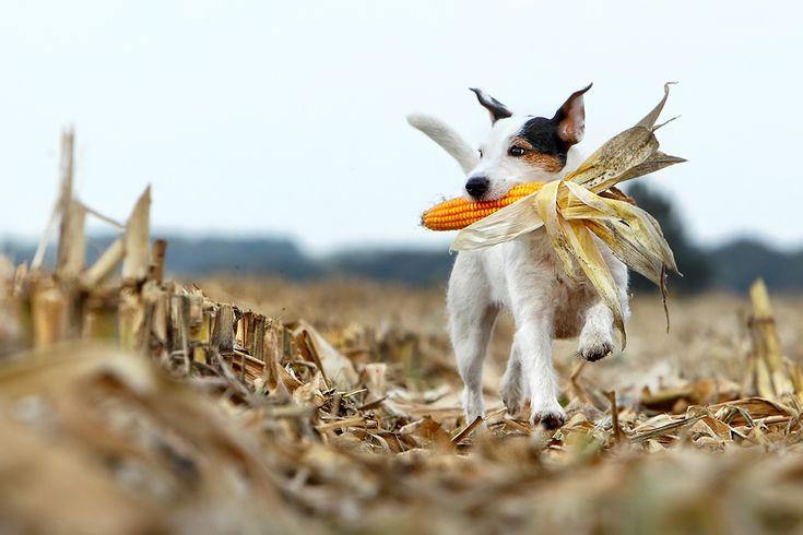 Le Parson Russell Terrier 6d50baf8e4cf511e77d0f9857088678c