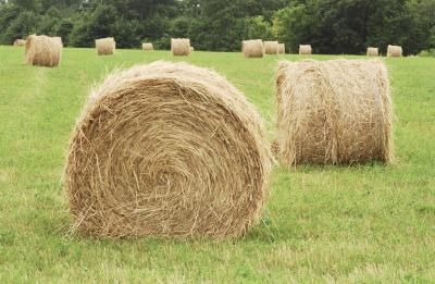 growing plants in hay bales Round hay bales make a clean, warm planting medium for potato plants.