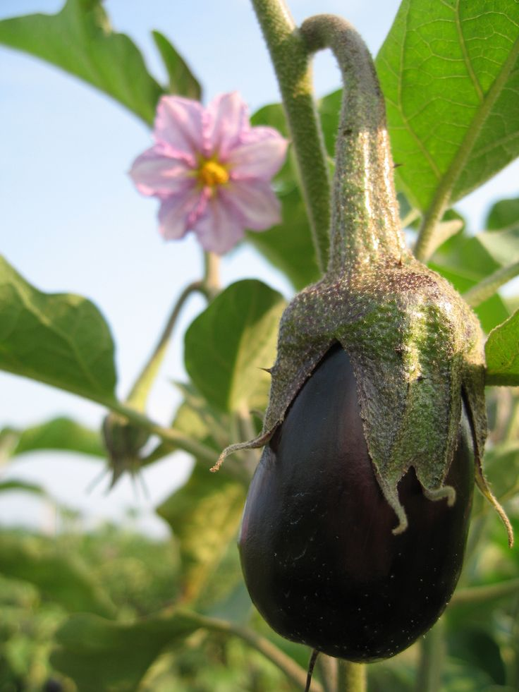 Growing Eggplant – How To Plant Eggplant Things I Want 400 x 300