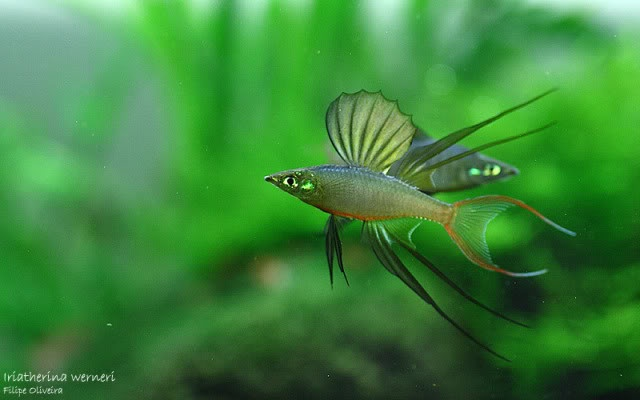 Threadfin Rainbowfish, I actually used to have some of these. I need ...