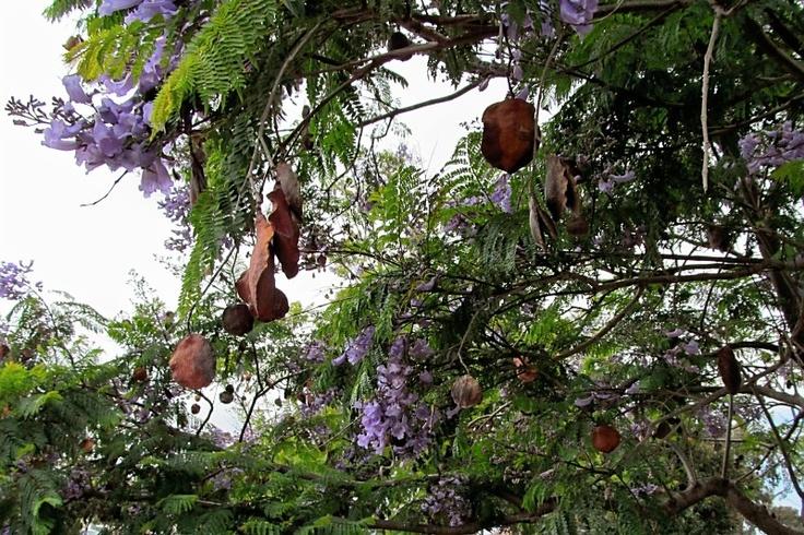Jacaranda seed pods | Trees | Pinterest