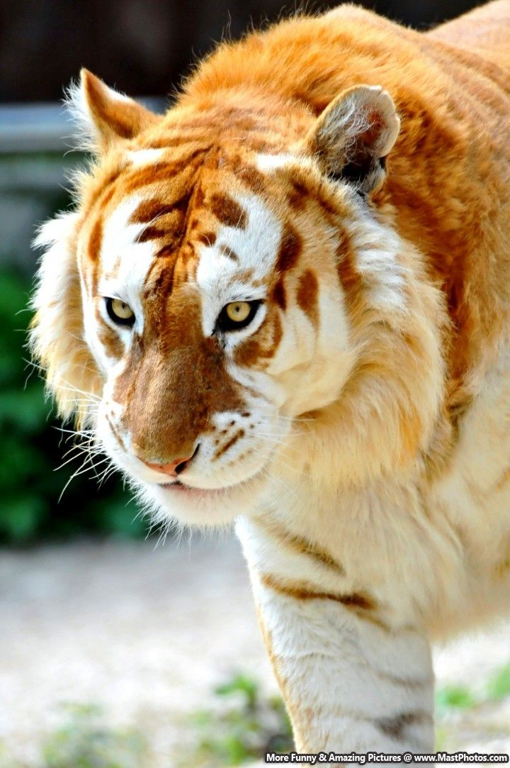 majestic golden tiger