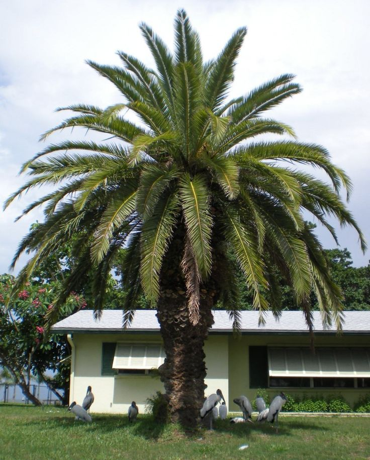 Canary Island Date Palm | PALM TREES | Pinterest