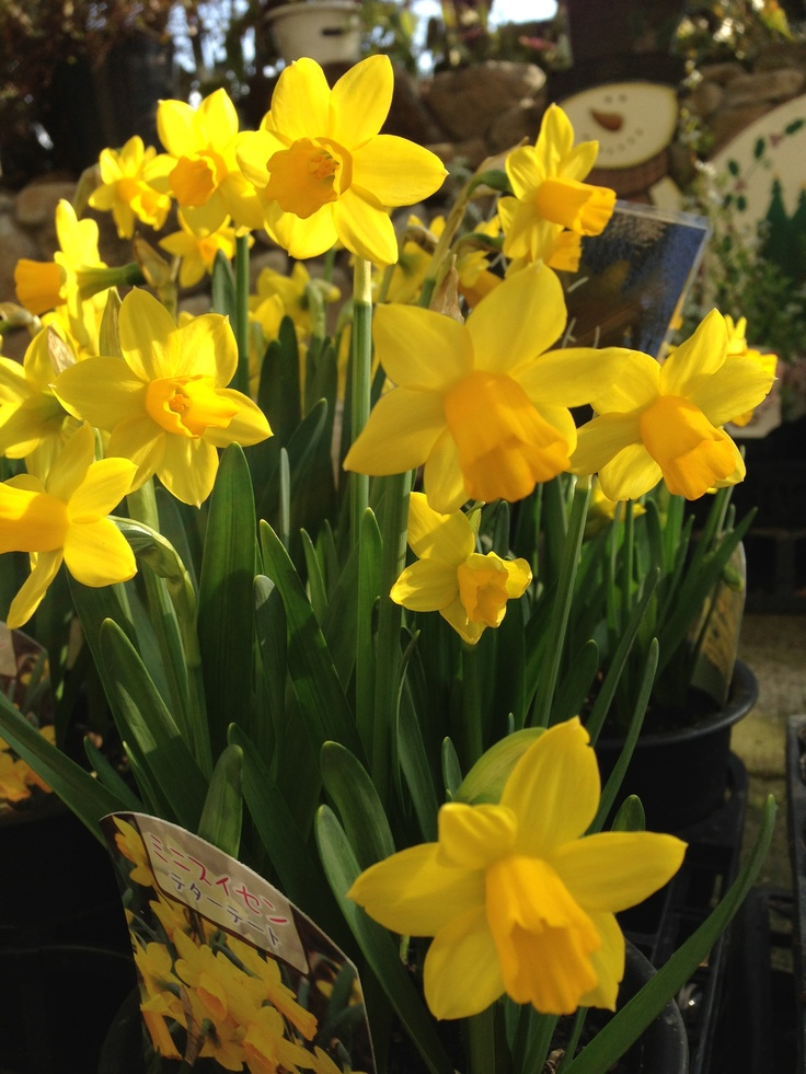 Narcissus - Facts, Varieties, Growing and Plant Caring Tips