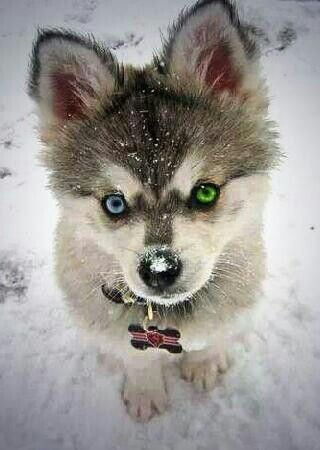 Pomsky With Blue Eyes The green and blue eyes!