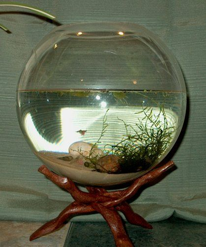 molting shrimp turn white and die ghost shrimp are more likely to ...