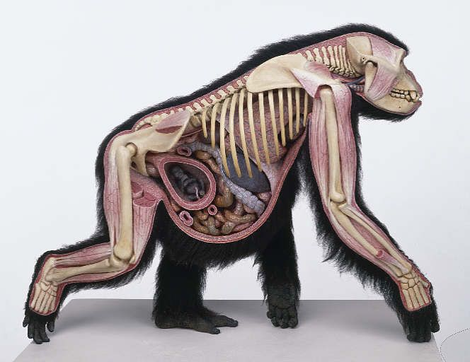Male Gorilla Anatomy