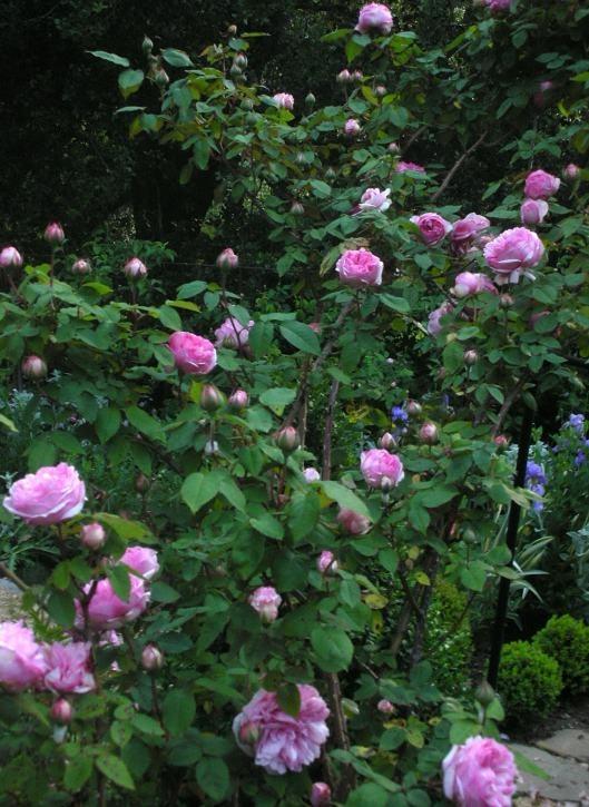 Rose bush The Rose Garden Pinterest