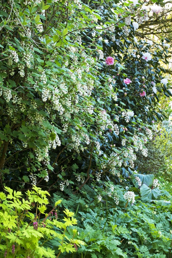 Shrubs for areas with high shade for Bushes for front yard
