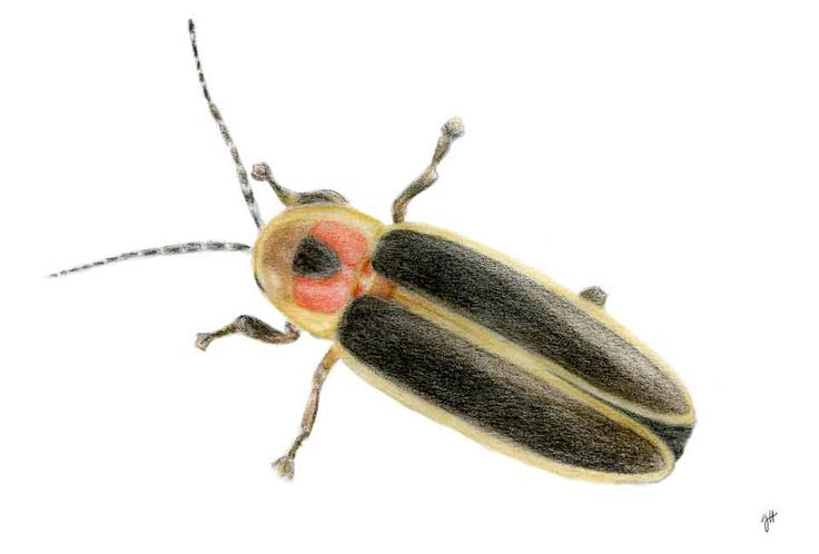 Fireflies or Lightning Bugs (Lampyridae)   Drawings of ...
