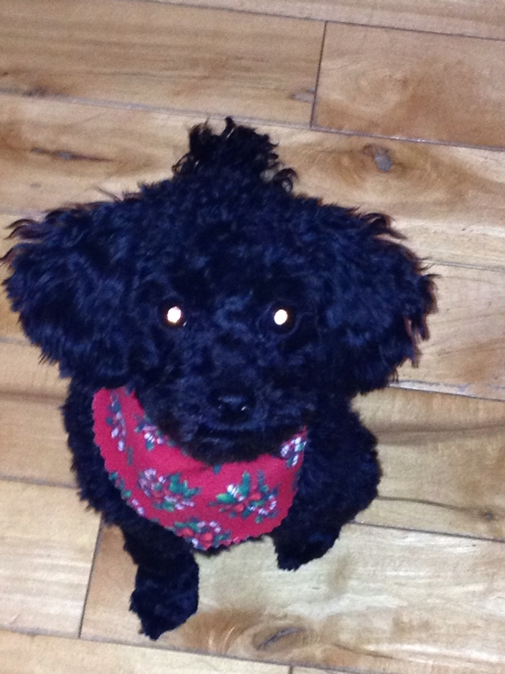 Christmas grooming | Toy poodle | Pinterest