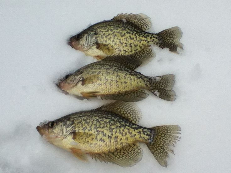 Crappies ice fishing vermont pinterest for Crappie ice fishing