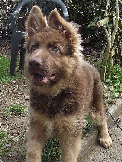 Liver German Shepherd Breeders   Dog Breeds Picture