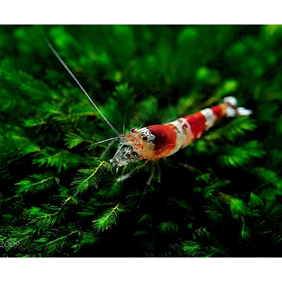 Crystal Red shrimp Fish aquariums & Fish Pinterest