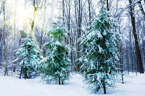evergreen trees in winter | winter | Pinterest Pictures Trees In Winter Pinterest