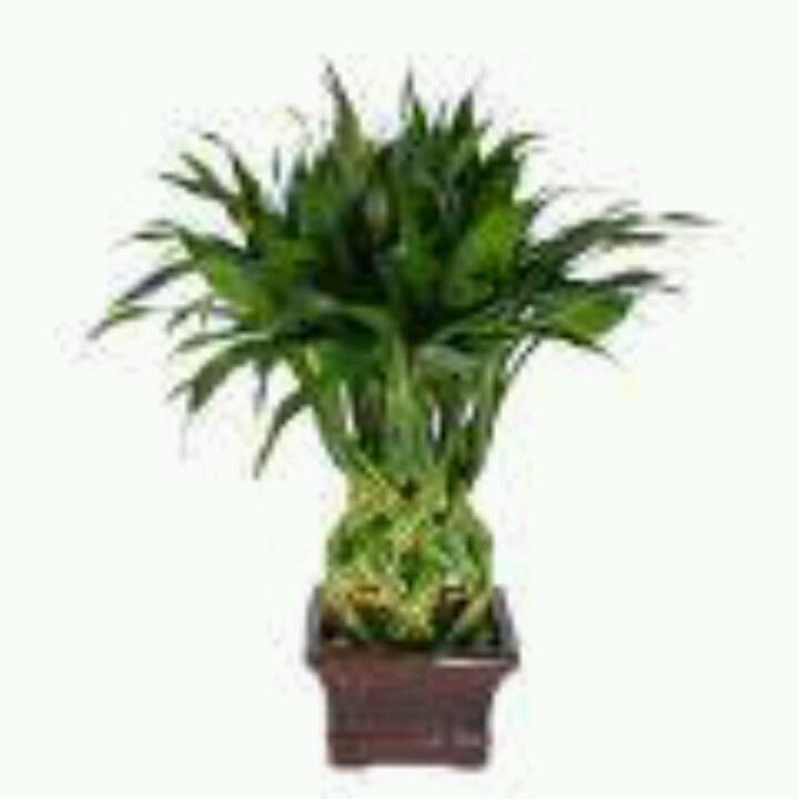 indoor tree low light low light indoor plant lucky
