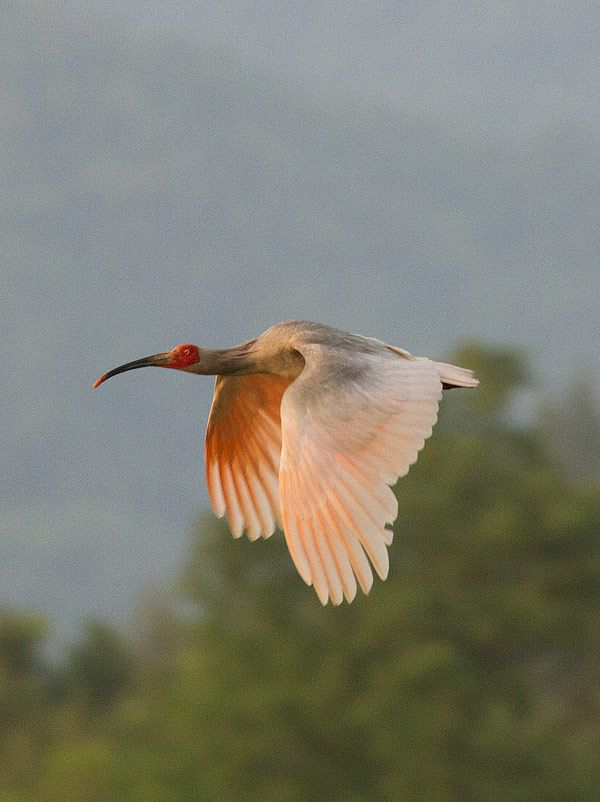 Crested Ibis (Nipponia nippon)   Endangered Species ...