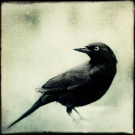 "Spooky Gothic Black and White Bird Print, Fine Art Photography Bird, Crow, Raven, Blackbird, Halloween Art, ""Grackle No. 2"""