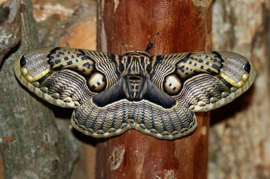 Take a close look at those beautiful designs and patterns. They are simply spectacular which makes the Brahmaea wallichii one of the most intricately patterned moths in the world. At a glance it can be mistaken for a unique species of bird. It can be found India, China, Taiwan, Myanmar and Japan.