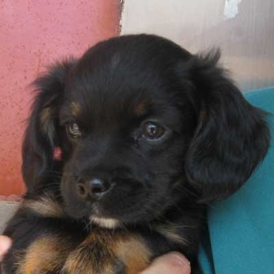 Spaniel blend #puppy, looking for a family this weekend! #adopt