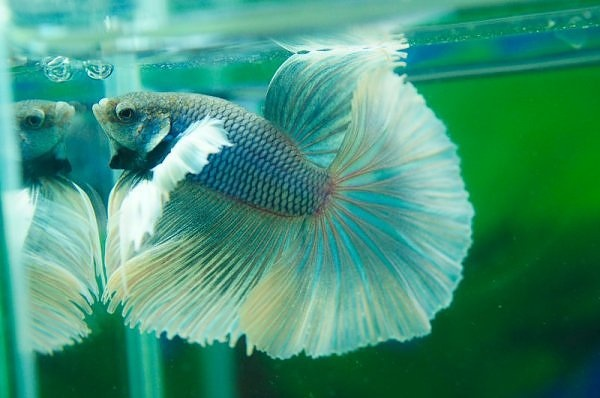 Pin cool chinese betta fish tattoo on pinterest for Cool betta fish names