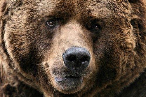 Brown bear face - photo#16