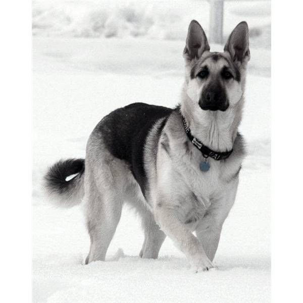 back and silver german shepherd | Animals: German Sheperds ...