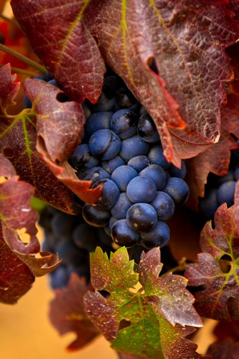 grape harvest- traditionally celebrated at Autumn Equinox/ Mabon.