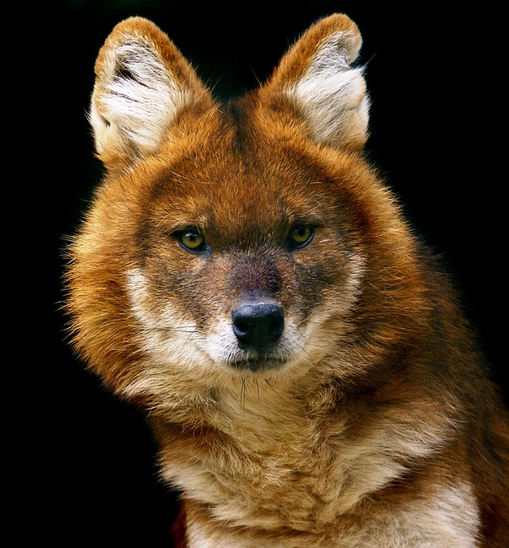 Maned red wolf