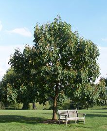 James loves these Royal Empress Trees, they're EXTREMELY fast growing FLOWERING shade trees. Can't beat that.