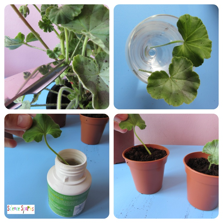 plant baby tissue cuttings