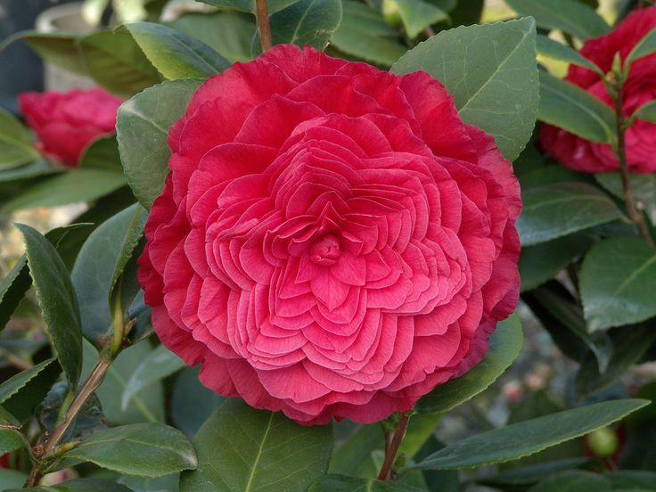 Nuccio 39 s bella rossa camellia pinterest - Camelia planta ...