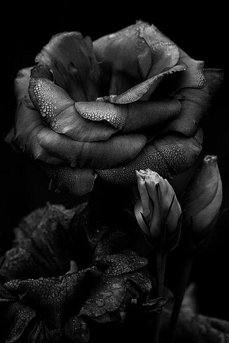 .black rose.