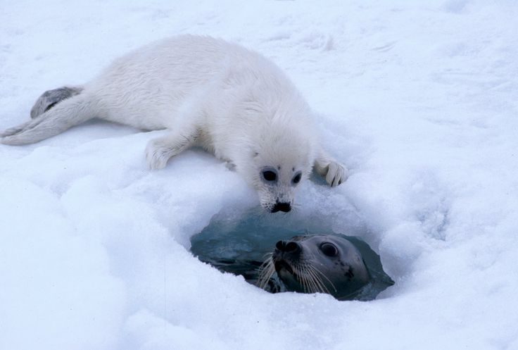 related pictures seal arctic - photo #3