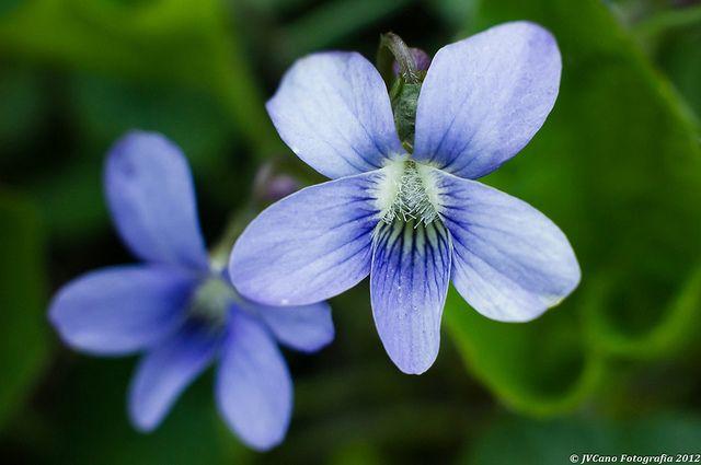 Wisconsin State Flower Wood Violet Flowers Pinterest