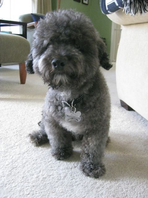 Pin by Shannon Robinson on Is Morrie a schnoodle? | Pinterest
