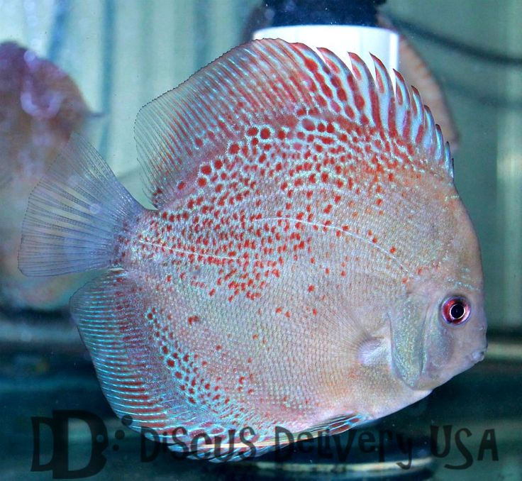 Discus fish for sale online blue discus fish pinterest for Fish for sale online