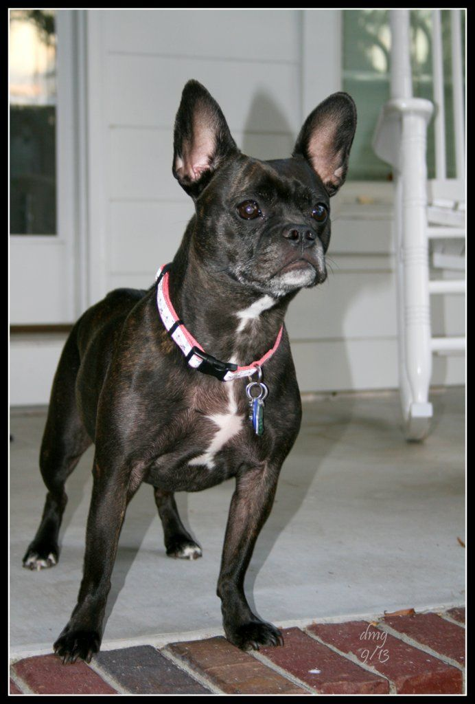 Sweet Frenchton (French Bulldog/Boston Terrier mix) The best! xox