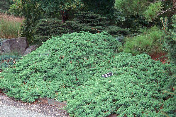 Dwarf japanese juniper ground cover garden pinterest for Japanese landscaping plants