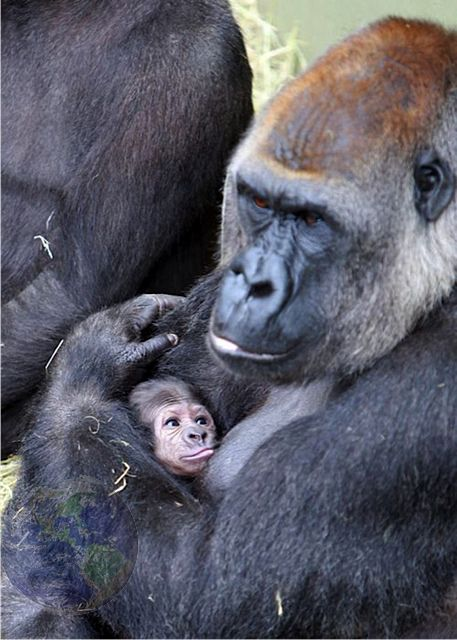 Gorilla baby stethoscope