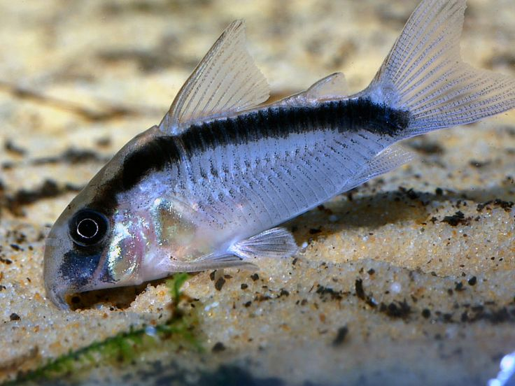 Skunk corydoras catfish fish aquarium pinterest for Cory cat fish