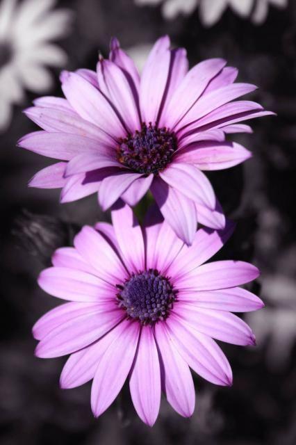 purple gerbera daisy flowers wwwimgkidcom the image