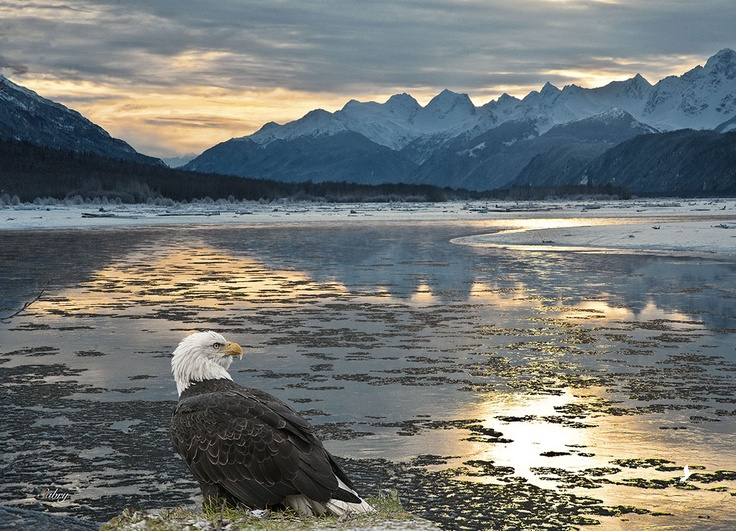 """Bald eagle at Chilkat River"" -- [Bald eagle on the shores of Chilkat River - Haines, Alaska]~[Photograph by Sabry Mason]'h4d'121129"