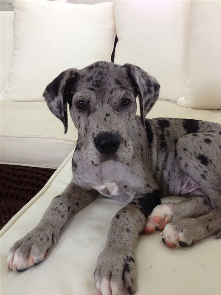 Brindle daniff puppy dog breeds picture