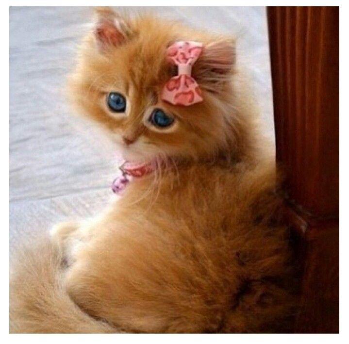 Cat Ginger Blue Eyes Fluffy