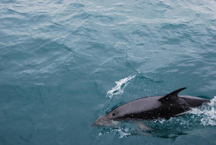 Dolphin, Kaikoura, New Zealand | Animals Dolphins | Pinterest