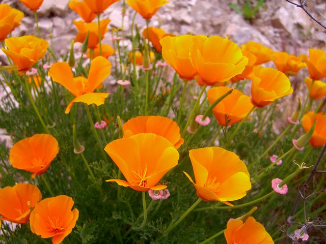 Mexican Gold Poppies Flowers Pinterest